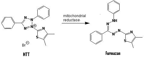 MTT reduction in live cells by mitochondrial reductase results in the formation of insoluble formazan, characterized by high absorptivity at 570 nm