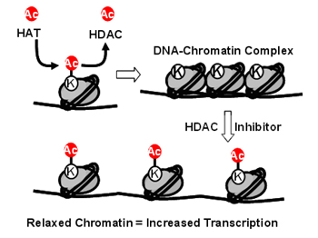 The Activity of HATs and HDACs Regulate Chromatin Structure and Transcription.
