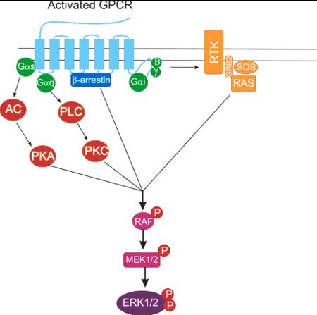 Depiction of MAPK/ERK1/2 activation emanating from GPCRs.