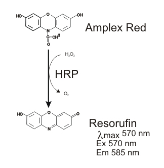 Conversion of Amplex Red to resorufin by HRP using H2O2.