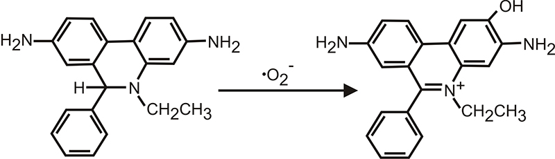 Oxidation of Dihydroethidium to 2-Hydroxyethidium by Superoxide.