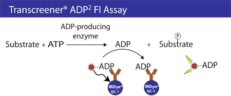 The Transcreener® ADP Detection Mixture comprises a quenched ADP Alexa594 Tracer bound to the ADP2 monoclonal antibody conjugated to an IRDye QC-1 quencher.