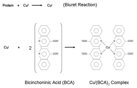 BCA reaction for protein quantification.
