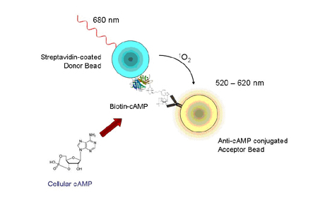 AlphaScreen® cAMP Assay Diagram