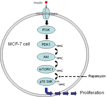 Insulin-induced activation of mTORC1 serving as a model for constitutive activity common to some cancers resulting in uncontrolled cell proliferation