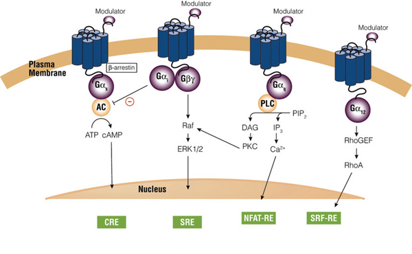 PCR signaling. Upon stimulation G∞scoupled receptors activate adenylate cyclase (AC) with concomitant increase in intracellular cAMP levels