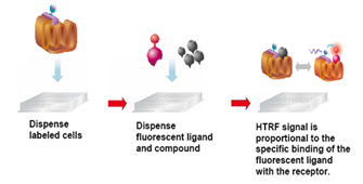 This assay is based on the competition between the Tag-lite fluorescent ligand (red probe) and compound.