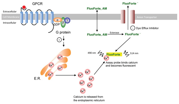 Schematic diagram depicting FluoForte internalization and calcium mobilization resulting from GPCR activation