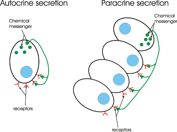 Autocrine and paracrine secretion.