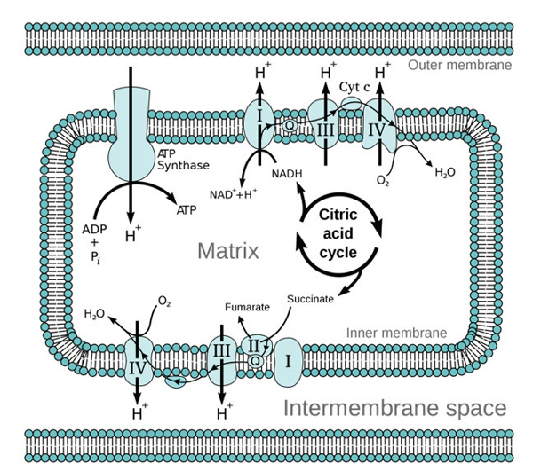 The oxidative phosphorylation process used by intracellular mitochondria to produce energy via ATP.