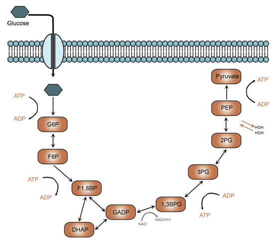 Figure 2. Energy production via glycolysis is used by highly proliferative cells.