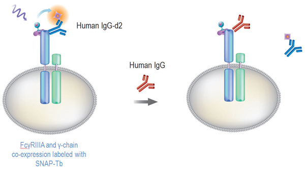 Fc binding on CD16a.