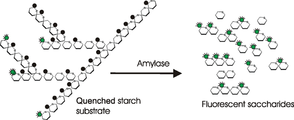 Reaction of Starch BODIPY® FL labeled Substrate by Amylase.