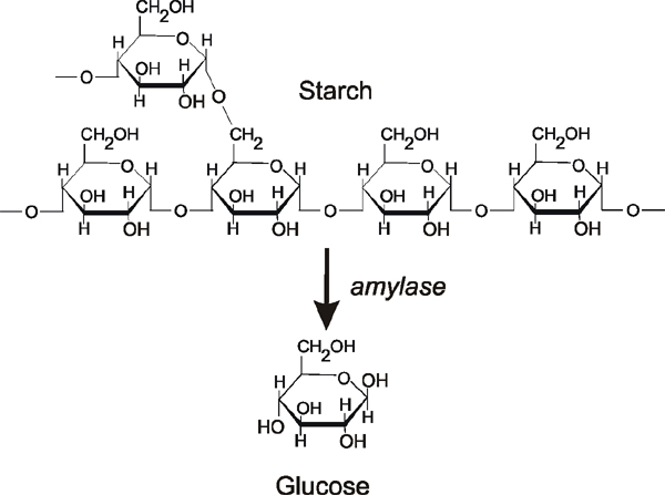 Starch and amylase experiment