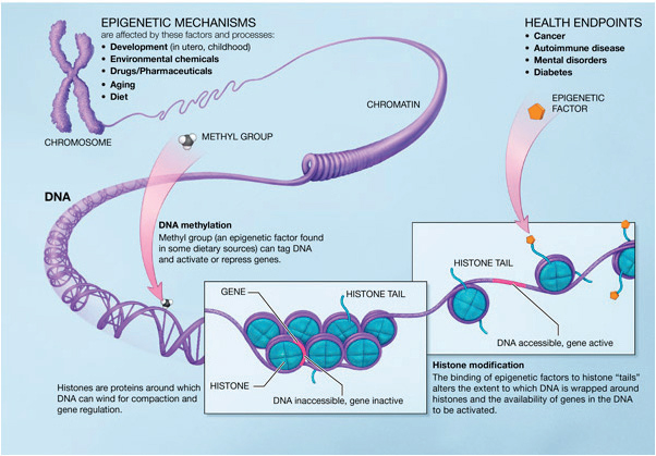 Histones play a central role in chromosomal structure affecting gene expression regulation. Epigenetic factors act as histone modulators, in turn controlling epigenetic mechanisms such as development and aging.