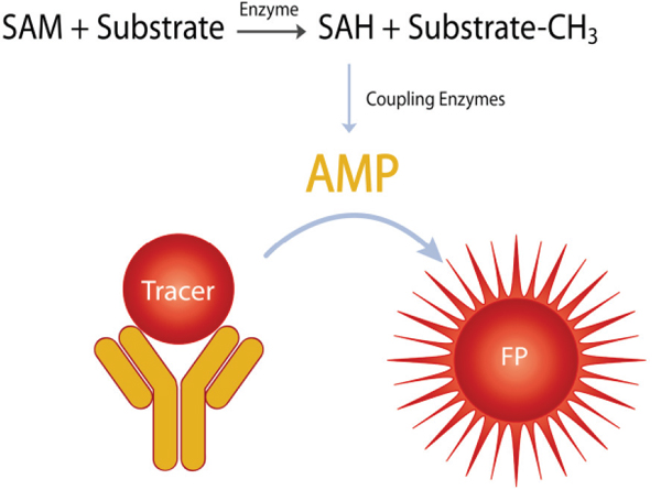 The Transcreener EPIGEN Methyltransferase Assay Principle. SAH produced by the target methyltransferase is converted to AMP by coupling enzymes which allows homogenous fluorescent polarization detection using the Transcreener AMP2/GMP2 Assay.