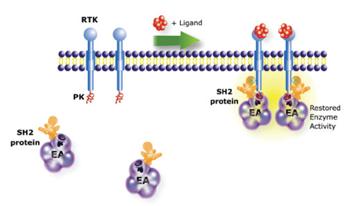 PathHunter RTK Assay Principle. Receptor tyrosine kinase (RTK) activation results in dimerization and phosphorylation of RTK with subsequent interaction with the SH2 protein.