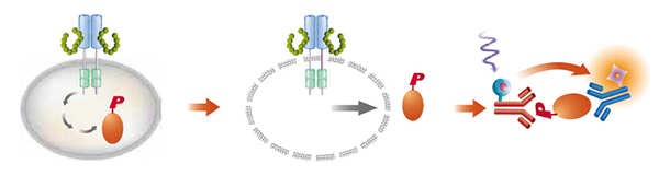 HTRF® phospho-STAT3 (Tyr705) and phospho-VEGFR2 (Tyr1175) Assay Process.