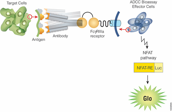 ADCC Reporter Bioassay principle showing antibody binding to target cell antigens and Jurkat cell expressed FcγRIIIa receptors.