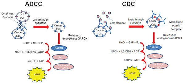 aCella-TOX assay principle showing effector cells (ADCC) or the complement cascade (CDC) causing target cell lysis.