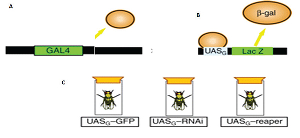 (a) GAL4 is a yeast transcription factor. (b) It binds a specific yeast promoter (UASG).
