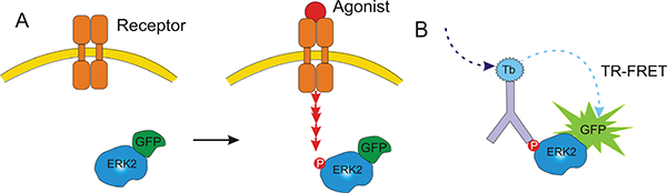 Schematic depiction of agonist-mediated Receptor activation leading to ERK2 phosphorylation