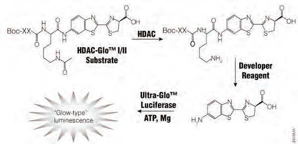 HDAC-Glo I/II Assay Principle. All three enzymatic modifications of the substrate occur in coupled, nearly simultaneous reactions upon addition of a single reagent.