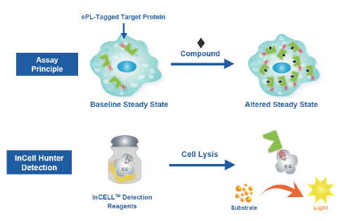 InCELL Hunter Assay Principle. Engineered cells express the target protein fused to an enhanced ProLabel (ePL) tag. In the absence of a binding compound, the target-ePL fusion reaches a steady state that increases when a compound binds the target.