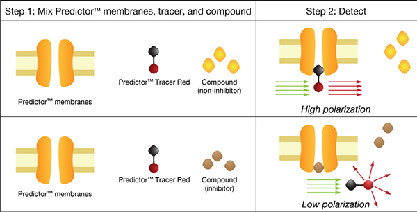 Predictor™ hERG Fluorescence Polarization Assay Principle.
