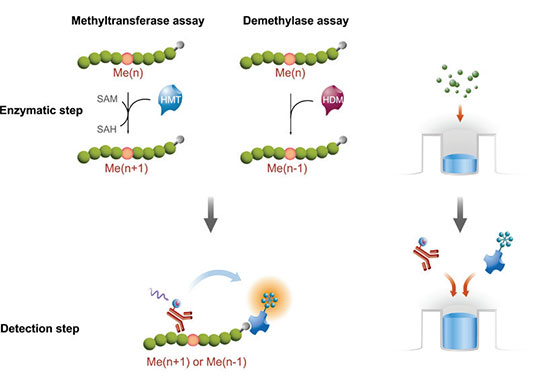 HTRF® biochemical epigenetic assay principle for (A) methyltransferase and (B) demethylase formats.