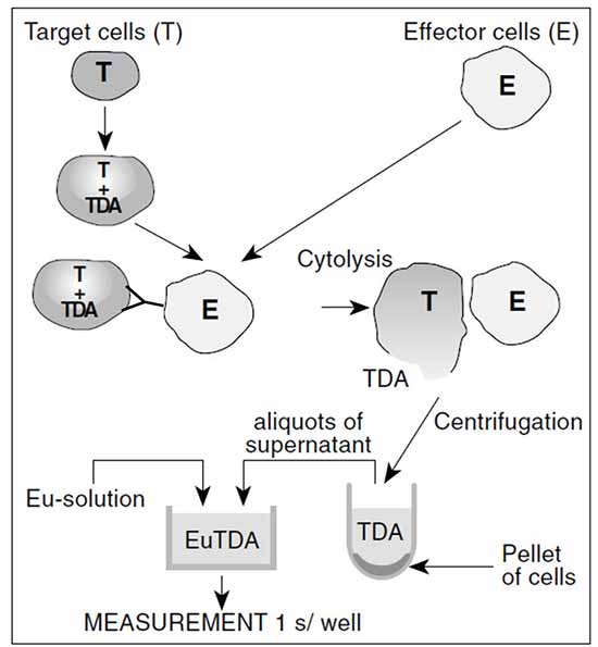 DELFIA assay, showing antibody bound to loaded target cells and effector cells; target cell lysis; pelleting; and TDA binding with europium to form the fluorescent chelate.