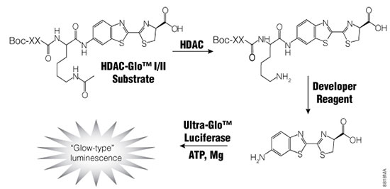HDAC-Glo I/II Assay Principle.
