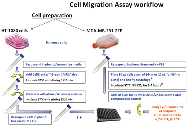 Assay workflow. HT-1080 and MDA-MB-231/GFP cells were harvested and prepared for seeding.