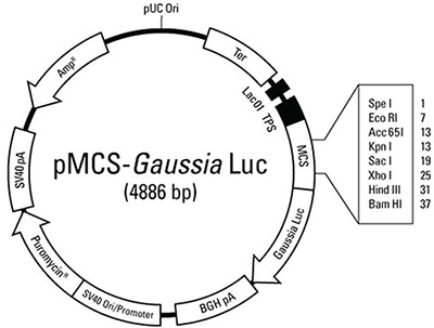 Figure 1. Thermo Scientific™ pMCS-Gaussia Luc reporter construct.