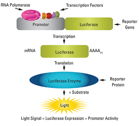 Figure 2. Schematic representation of a luciferase reporter assay.