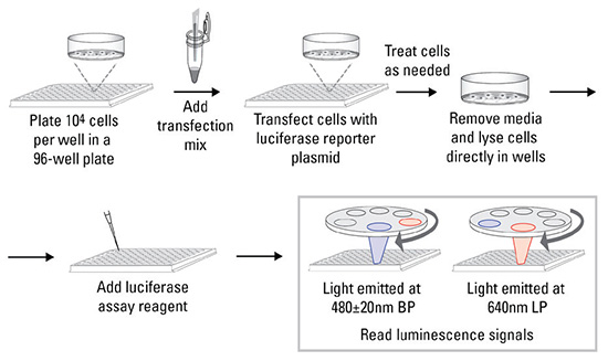 Protocol summary for the Thermo Scientific Gaussia- Firefly Luciferase Dual Assay Kit.