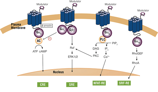 GCPR signaling. Upon stimulation, GS-coupled receptors activate adenylate cyclase (AC) with concomitant increase in intracellular cAMP levels.