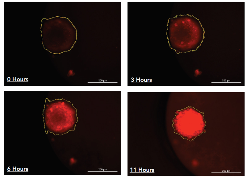 Time course study of the generation of hypoxic conditions in a liver microtissue spheroid imaged using