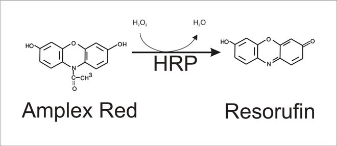 Conversion of Amplex Red into Resorufin
