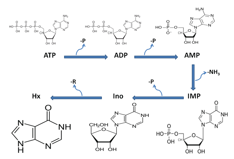 Biochemical structure of freshness pathway characterized by ATP depletion to Hypoxanthine (Hx) following the arrest of cellular respiration post-mortem in muscle tissue.