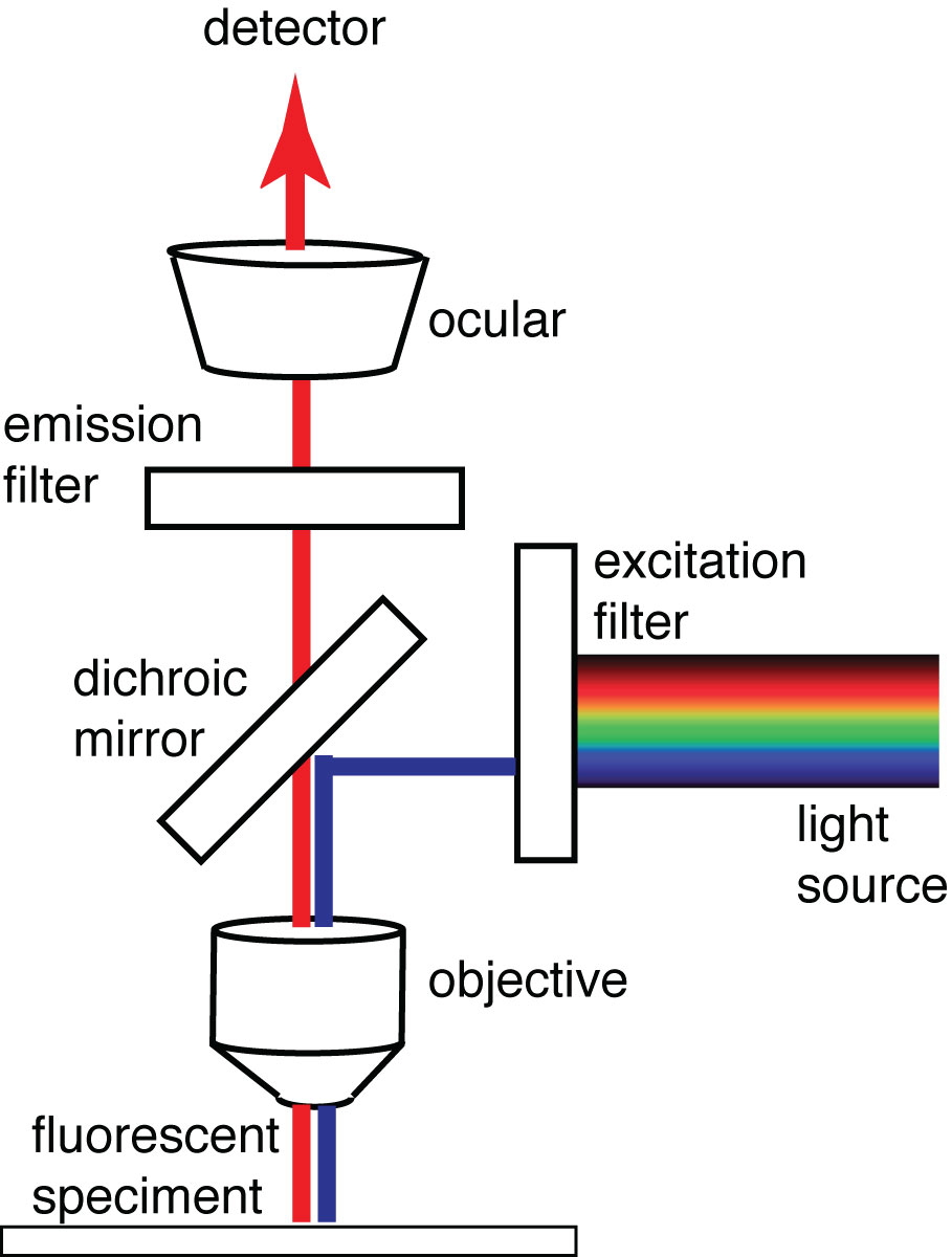 Figure 10. A basic fluorescence microscope demonstrating an epi-fluorescence design coupled with spectral filters isolating excitation and emission light and a dichroic mirror that reflects excitation light (blue) onto the sample and away from the detector at the same time as allowing emission light (red) to pass through to the detector.