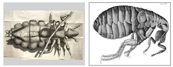 Micrographia hand drawn illustrations by Hooke: at left: a louse, at right: a flea.