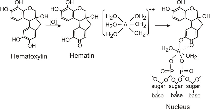 Hematoxylin (hematin) binding to DNA in the cell