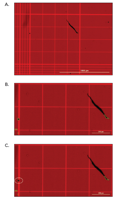 Dead MCF-7 Cell Determination using Red ColorBrightfield Excitation.