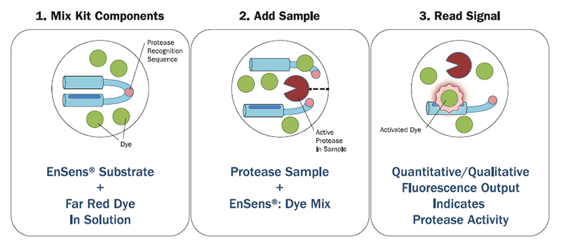EnSens® Protease Activity Detection Assay Procedure