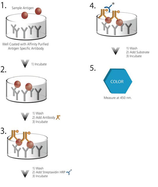 Assay schematic for ELISA assay principle for the detection of analyte in biotherapeutic products.