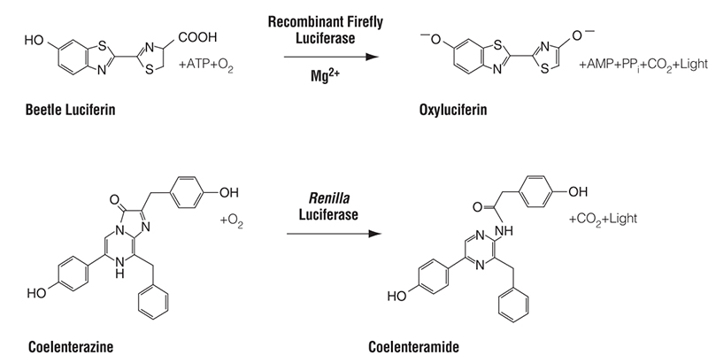 Bioluminescent reactions catalyzed by firefly and Renilla luciferases.