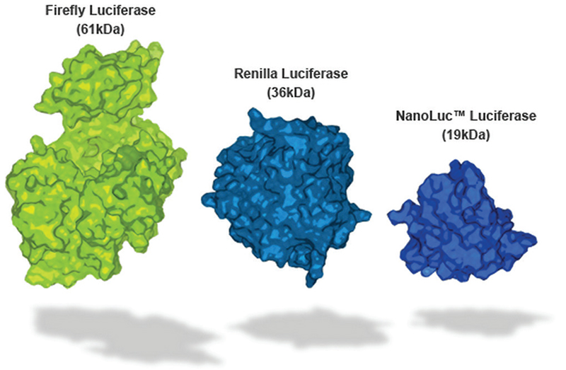 Comparison of relative sizes of different luciferases.