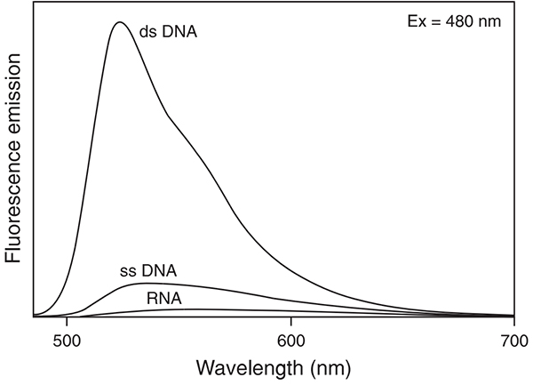 Fluorescent enhancement of PicoGreen dye upon binding to dsDNA