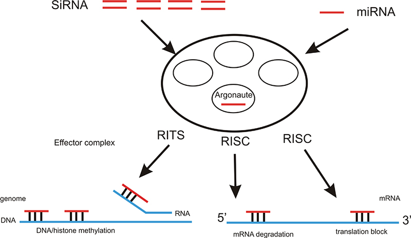 Schematic of RNAi mechanism.